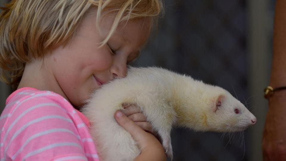Four year-old Sammi Smith with Fideo, a three-year-old male albino ferret, in her house on the outskirts of Sydney. According to the Australian Veterinary Association, exotic pets are becoming