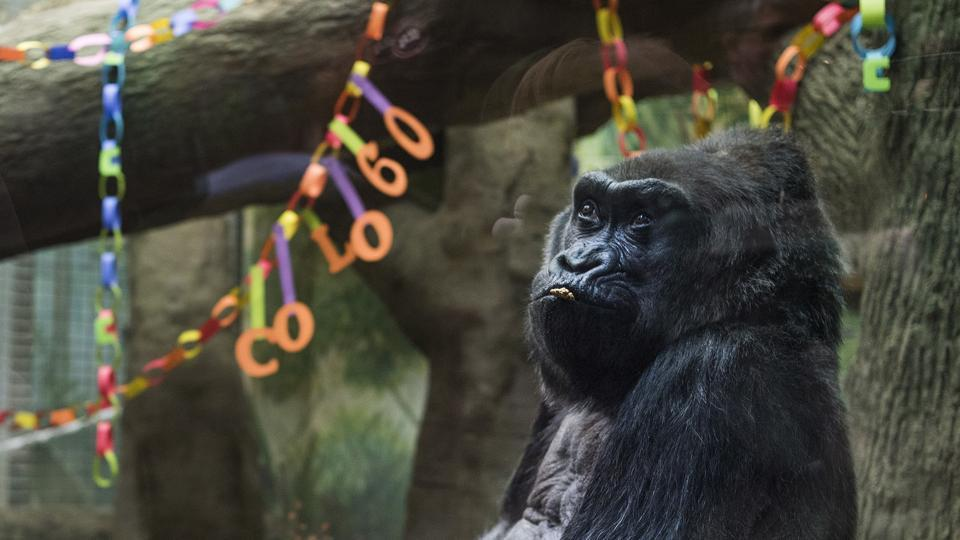 Colo, the oldest living gorilla in captivity, sits inside of her enclosure during her 60th birthday party at the Columbus Zoo and Aquarium. (AP Photo)