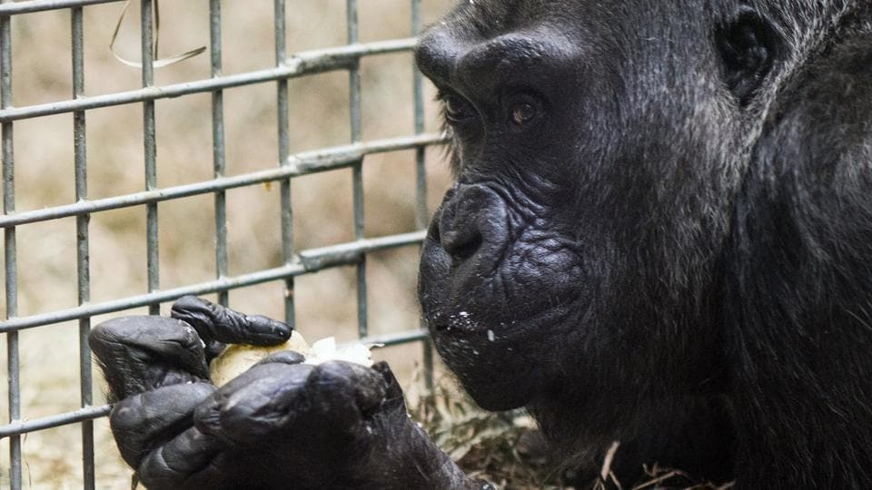 Colo, eats a cake inside her enclosure. Colo was the first gorilla in the world born in a zoo and has surpassed the usual life expectancy of captive gorillas by two decades (AP Photo)