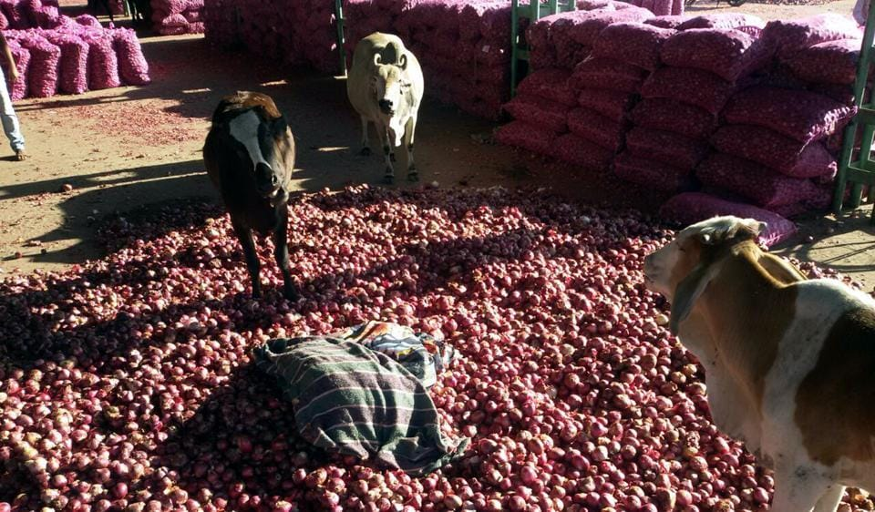 Some distressed farmers threw their onion produce in front of stray cattle at the Neemuch market on Thursday.