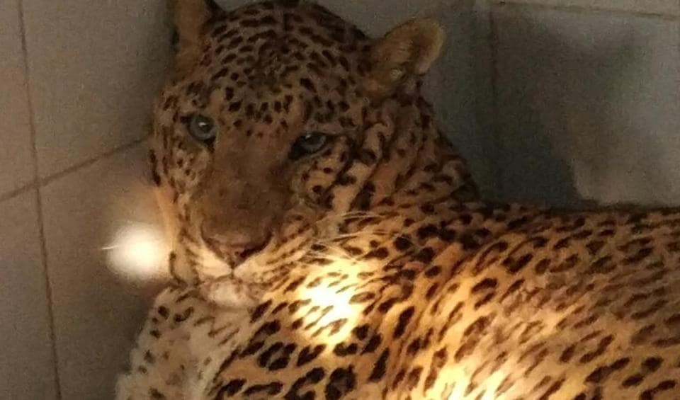 Ahmednagar, the leopard that died on Friday.