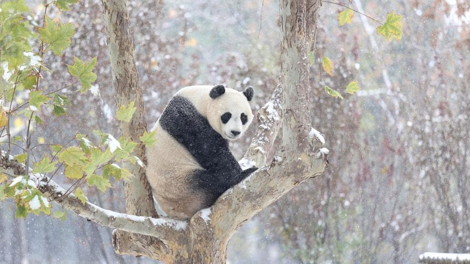 A file photo of a giant panda sitting on a tree.