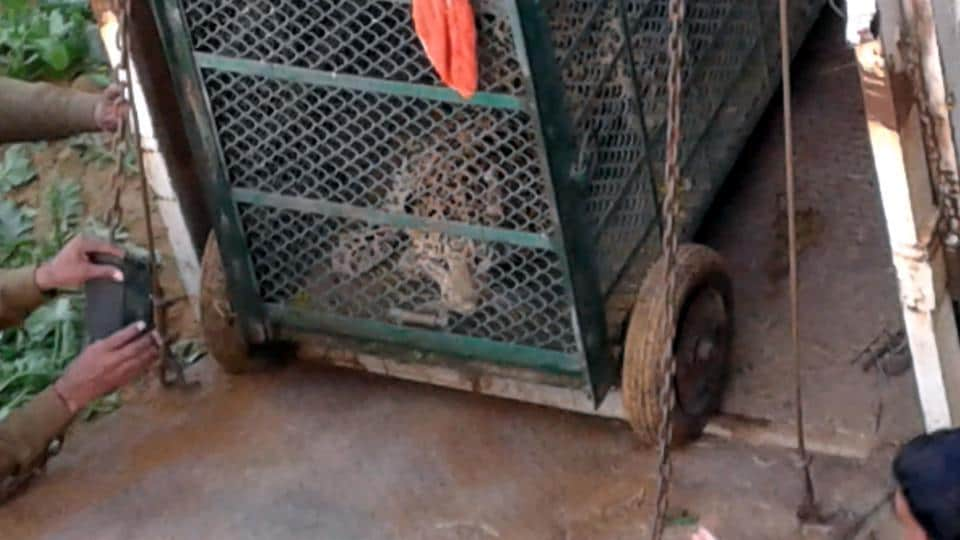The incident took place less than a month after a leopard was beaten to death by villagers of Mandawar after the animal strayed into residential areas a few kilometres west of Tauru -- 40 kms from Gurgaon.