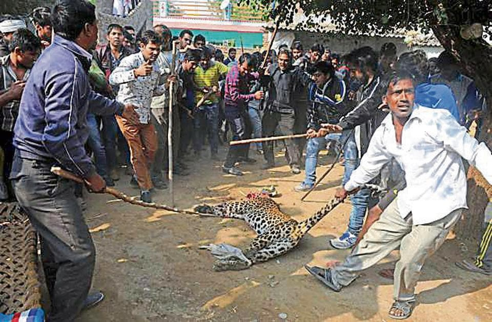 Villagers killed a leopard that ran amok on the streets of Mandawar village on November 24.