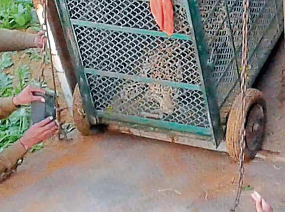 As the leopard had sustained minor injuries during the capture, wildlife officials had kept it under observation for a week.