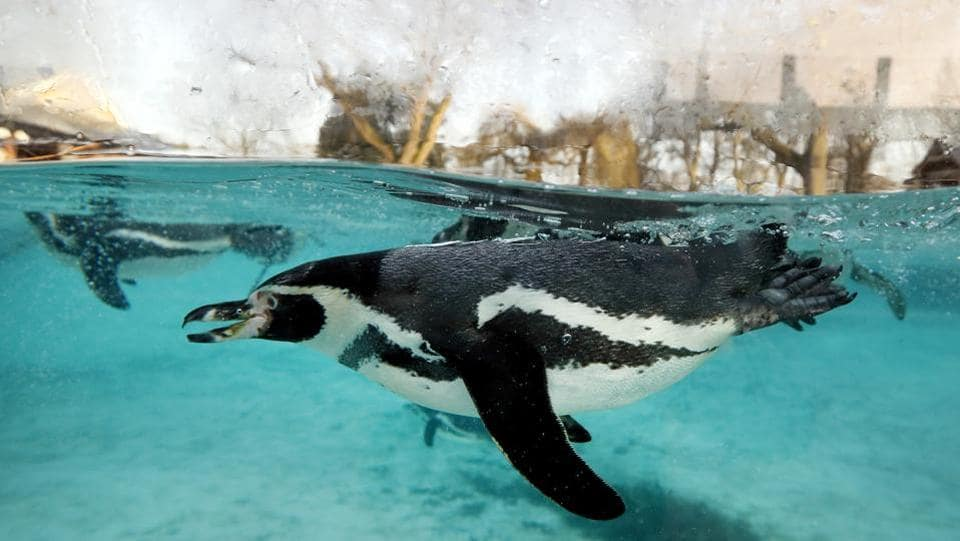 A Humboldt penguin swims during a photo call for the annual stock take at London Zoo in London.  (AP Photo/Kirsty Wigglesworth)