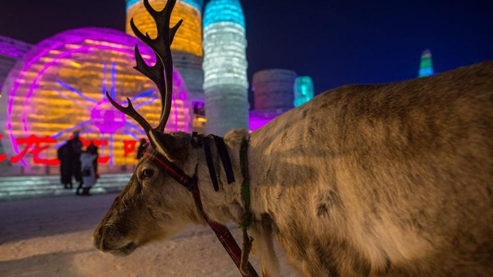 A reindeer is seen as people visit ice sculptures illuminated by coloured lights at the Harbin Ice and Snow Festival to celebrate the new year in Harbin on January 4, 2017.  (NICOLAS ASFOUR / AFP)