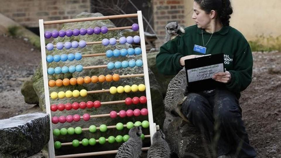 Learning the abacus: Zoo keeper Veronica Heldt poses with meerkats during the annual stocktake at London Zoo in London, Britain. (REUTERS/Stefan Wermuth)