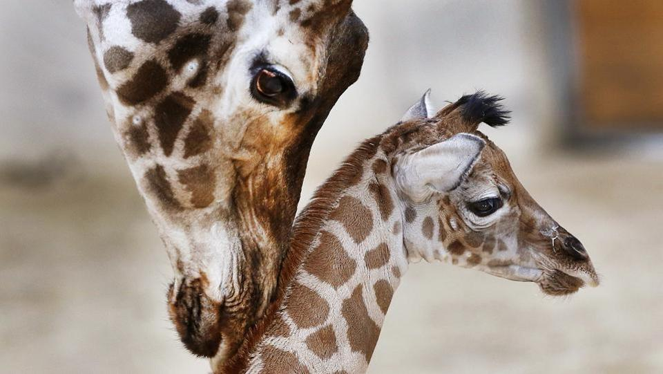 Some tender lovin': Three-day-old baby giraffe Kimara is nuzzled by its mother Katharina, on its first day out at the Opel zoo in Kronberg near Frankfurt, Germany. (AP Photo/Michael Probst)