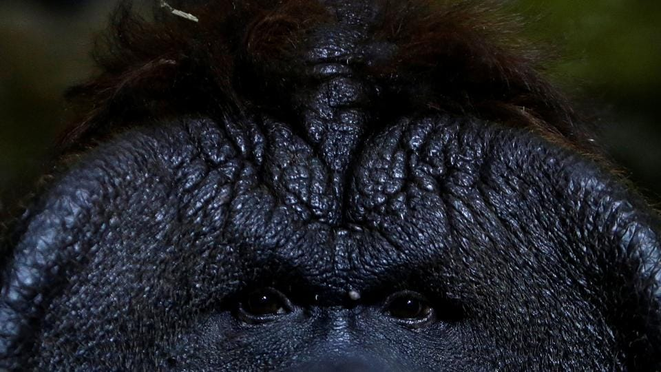 Staring you down: Nunak, the Bornean orangutan, stares out from his enclosure at Usti nad Labem Zoo, Czech Republic.  (REUTERS/David W Cerny)