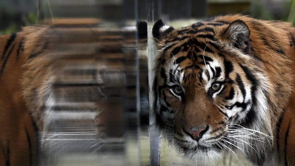 Fierce: Sumatran tiger Jae Jae is reflected in glass during the annual stocktake at London Zoo.  (REUTERS/Stefan Wermuth)