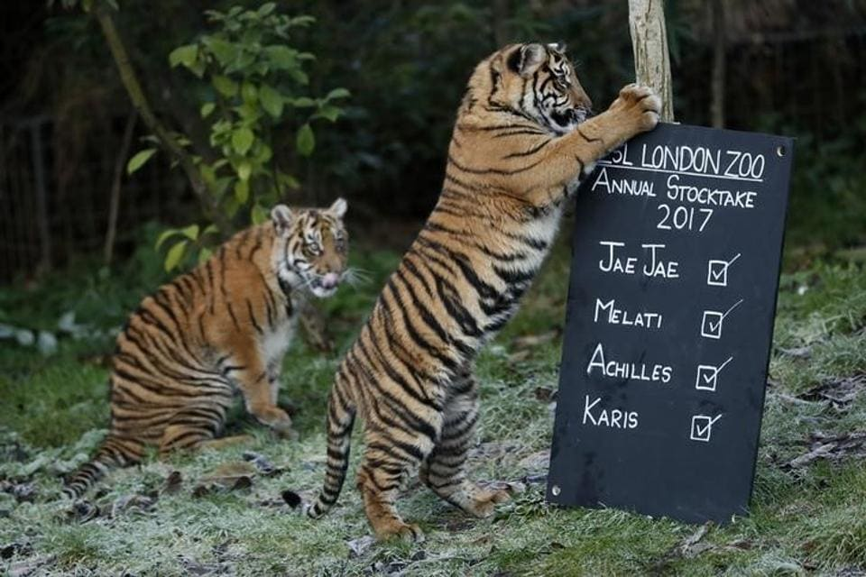 Sumatran tiger cubs play with a sign during the annual stocktake at London Zoo in London, Britain January 3, 2017. REUTERS/Stefan Wermuth