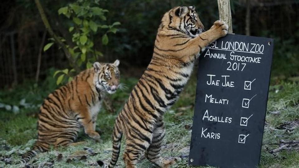 Playful: Sumatran tiger cubs play with a sign during the annual stocktake at London Zoo in London, Britain.  (REUTERS/Stefan Wermuth)