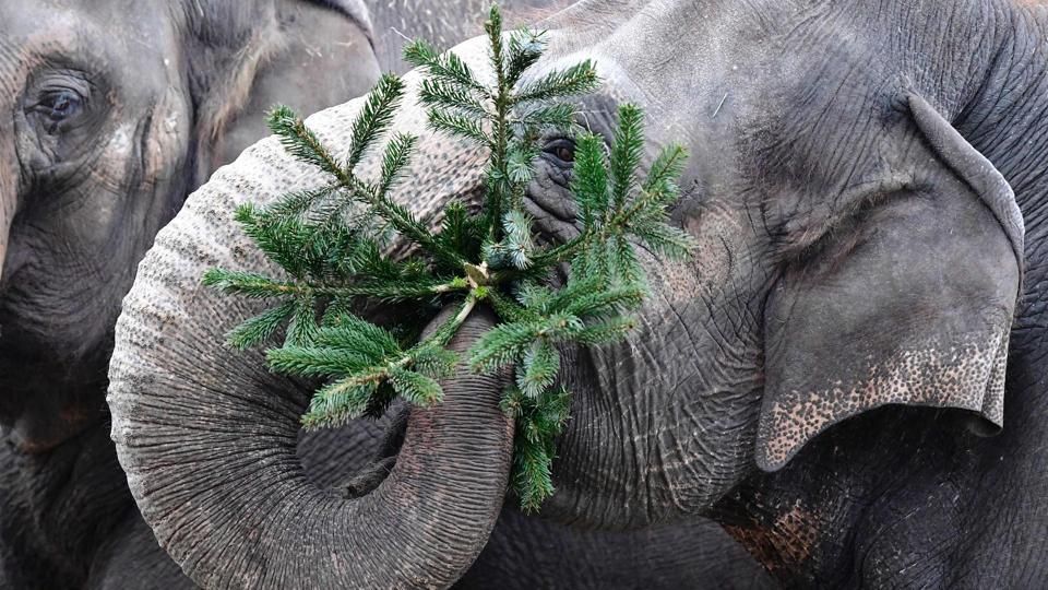 In the festive spirit: An elephant plays with a Christmas tree at the Zoologischer Garten zoo in Berlin. (AFP PHOTO / Tobias SCHWARZ)
