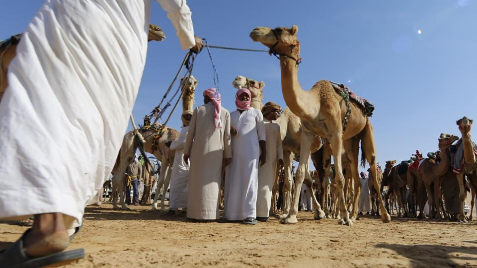 Participants prepare their camels before the race.  (Karim Sahib/AFP)