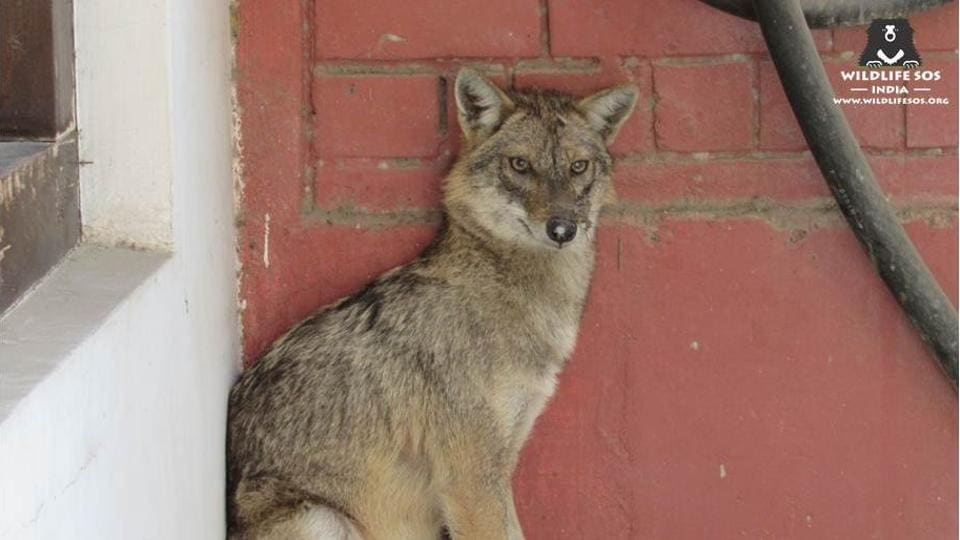 An adult female jackal was rescued from a government office in south Delhi's Vasant Vihar on Wednesday.