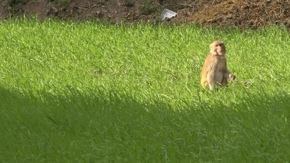 Villagers complain monkeys and wild boars frequently destroy their crops.