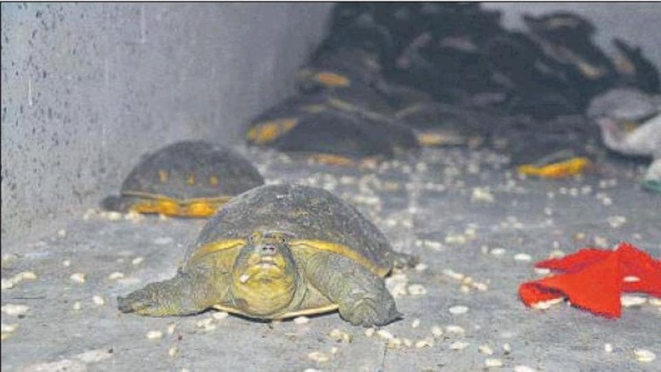 Turtles seized by UP Special Task Force (STF) from poachers in Ambedkar Nagar district in December.