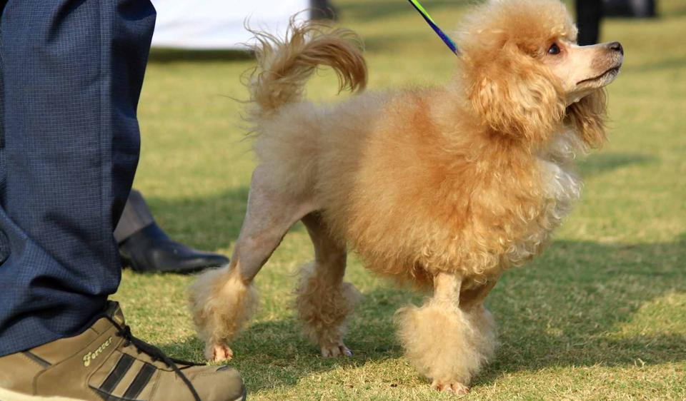 Gurugram Kennel Club is set to host its annual dog championship show in Gurgaon on Sunday.