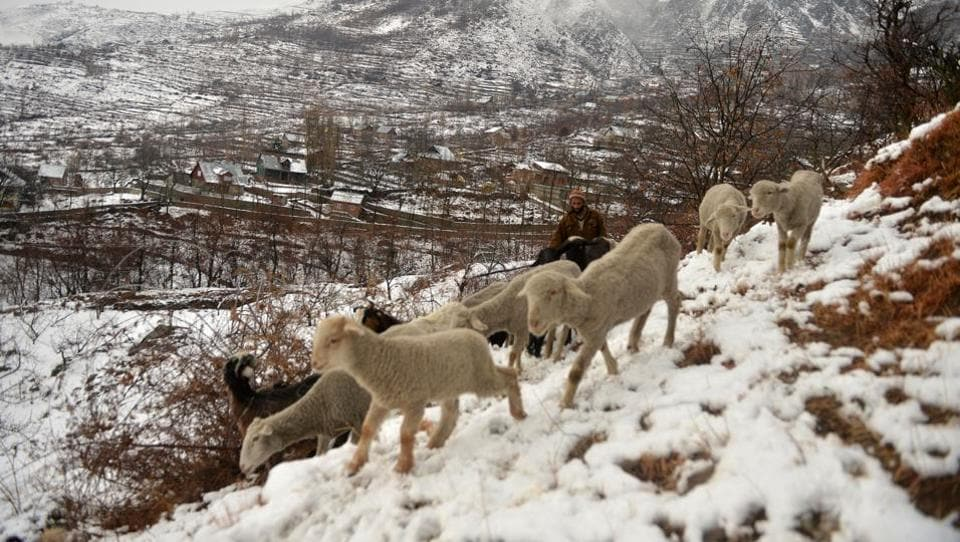 A shepherd tends to his flock after a snowfall on the outskirts of Srinagar on January 5, 2017. The sub-zero temperatures has frozen many water bodies in Kashmir and even drinking water taps have frozen at some places. (Tauseef MUSTAFA / AFP)