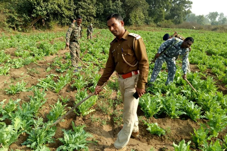 Police destroying poppy cultivation in a village in  Jharkhand's Chatra district.