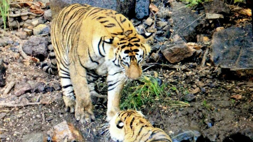 Tiger T-74 (standing) and tigress  T-41 (in the water) after their fight at the Ranthambore Tiger Reserve on Friday.
