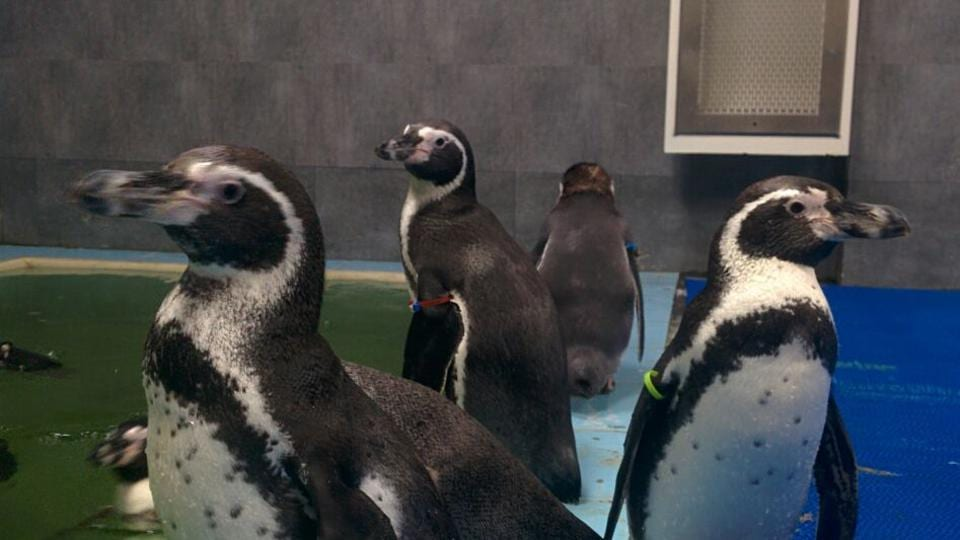 Eight Humboldt penguins were brought to Byculla Zoo from Seoul in South Korea in July.