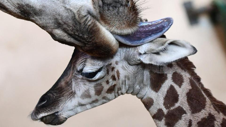 A three-day-young giraffe baby is cleaned by its mother in the 'Giraffe House' at Zoo and Botanic Garden of Budapest on January 3.  (AFP)