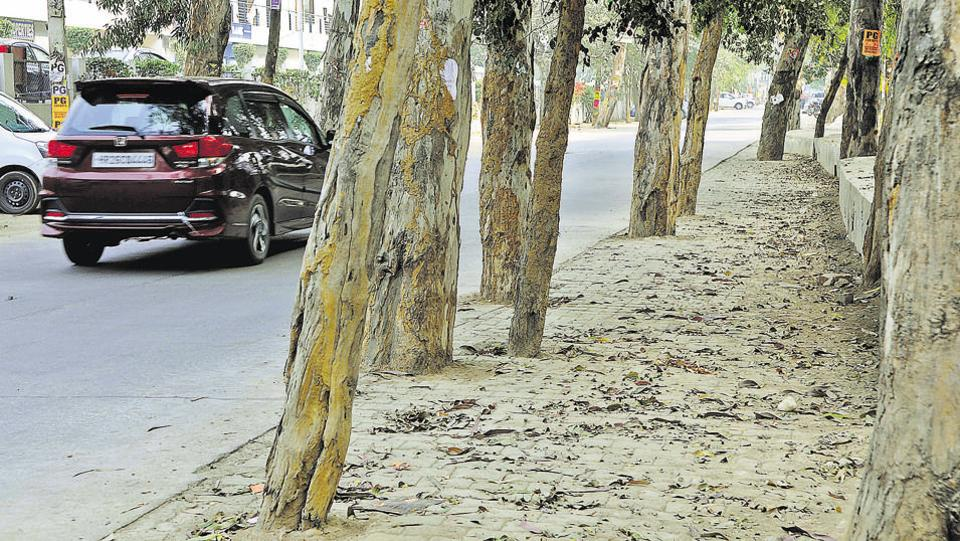 A year after the National Green Tribunal ordered the administration to remove concrete around trees along Sector 31 road, no action has been taken. According to the petitioner, concrete is piled up around 15,000 trees in
