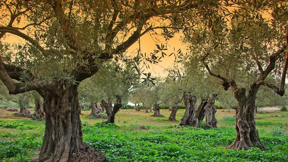 Brought to Spain by the Greeks and the Romans, olive trees now cover 6.2 million acres of land.