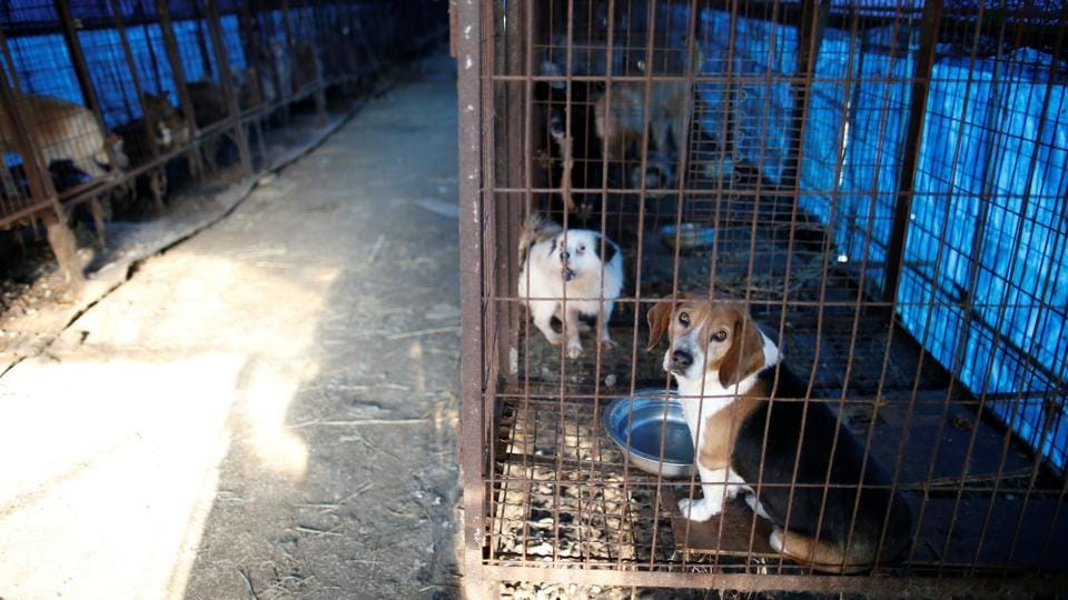 Dogs are pictured in cages at a dog meat farm in Wonju. Consumption of dog meat is on the decline in South Korea, where it is mainly eaten by older people and dogs are increasingly popular as pets.  (Kim Hong-Ji / REUTERS)
