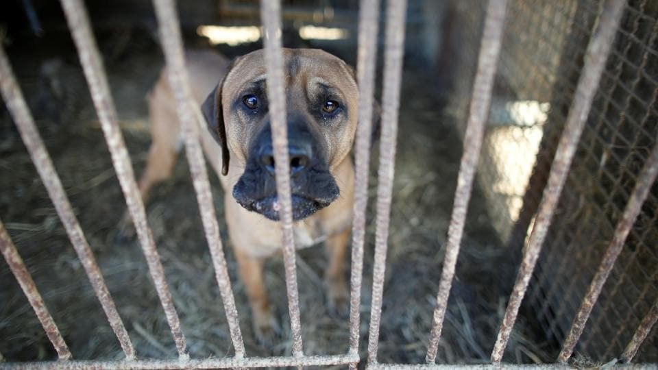 A dog is pictured in a cage at a dog meat farm in Wonju, South Korea.