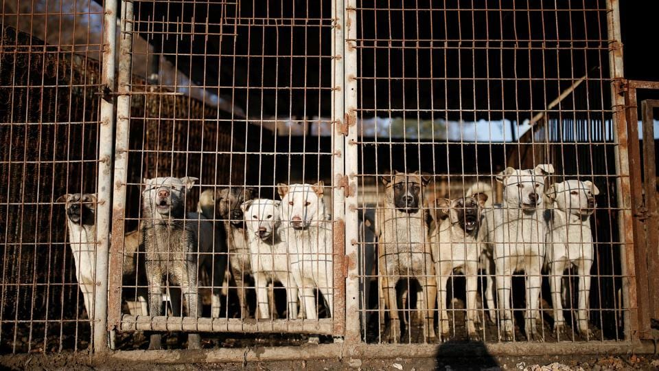 Dogs are pictured in cages at a dog meat farm in Wonju, South Korea.  (Kim Hong-Ji / REUTERS)
