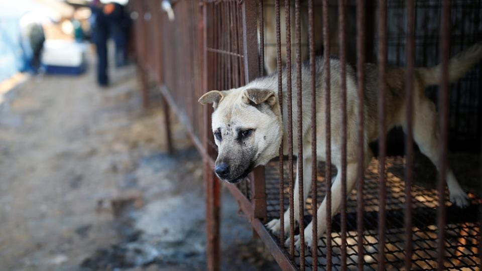 The campaign to rescue the animals was launched by Humane Society International.  (REUTERS / /Kim Hong-Ji)
