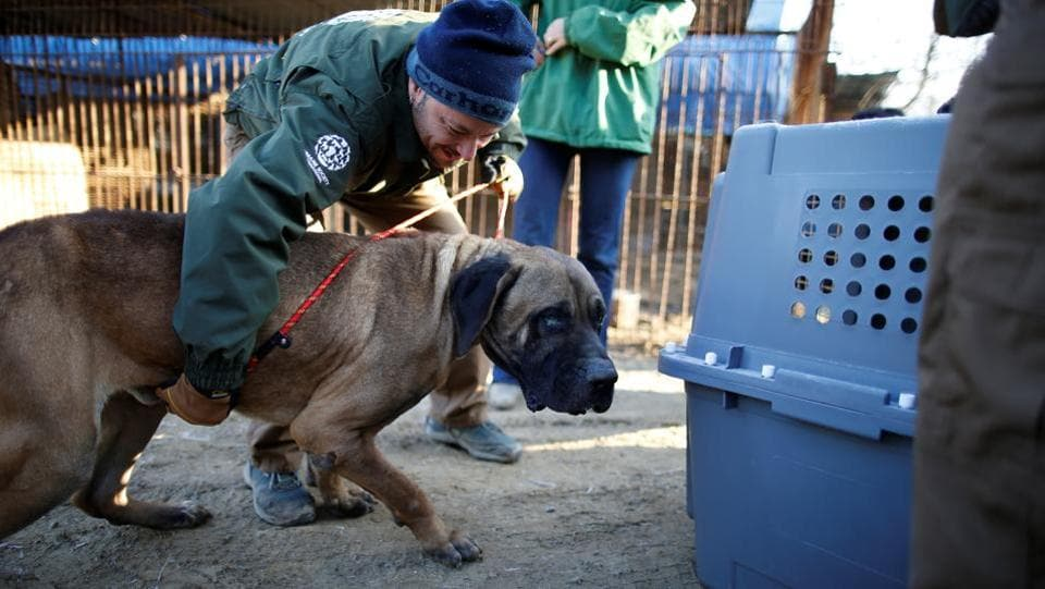 Rescue workers from Humane Society International rescue a dog at a dog meat farm in Wonju, South Korea.  (Kim Hong-Ji / REUTERS)