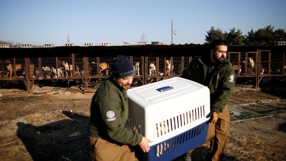 Rescue workers from Humane Society International rescue a dog at a dog meat farm in Wonju.  (Kim Hong / REUTERS)