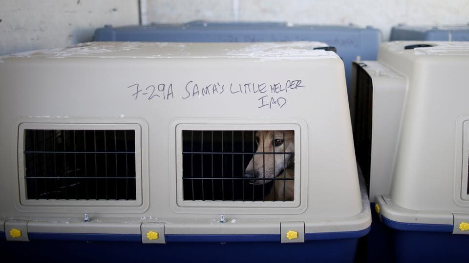 A rescued dog is seen as it waits for transport, at a dog meat farm in Wonju, South Korea on January 10, 2017.  (Kim Hong-Ji / REUTERS)