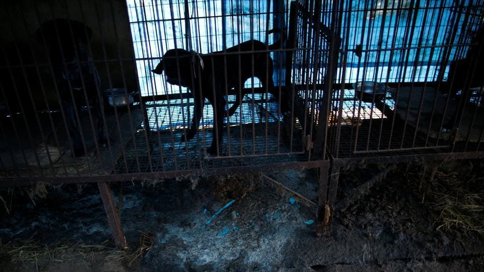 "The Wonju farm is the sixth that the group has helped close down in South Korea since 2015, and follows six-months of negotiations, medical examinations and vaccinations.  Hygiene here is ""non-existent"" with waste collecting beneath cages where dogs are exposed to extremes of weather and fed once a day, according to HSI. (Kim Hong-Ji / REUTERS)"