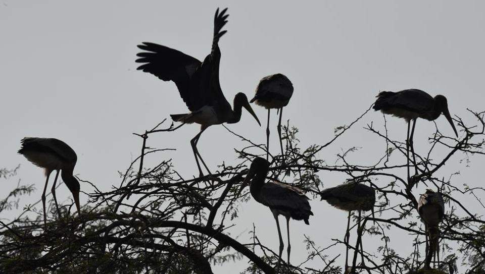 Painted Stork sit on trees above an enclosure at Delhi Zoological gardens. (Virendra Singh Gosain/HT PHOTO)
