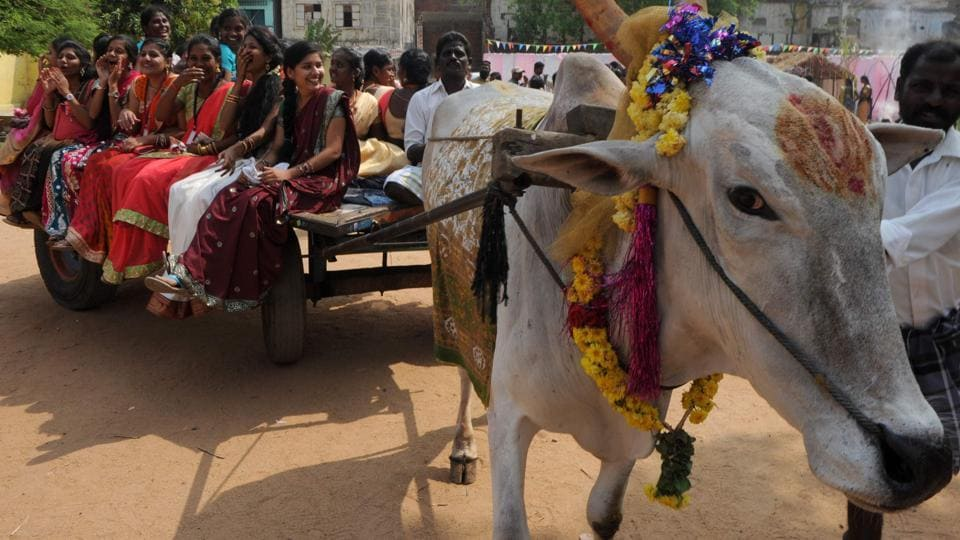 Women ride on a bull-cart during Pongal celebrations in Chennai on Wednesday. (AFP)