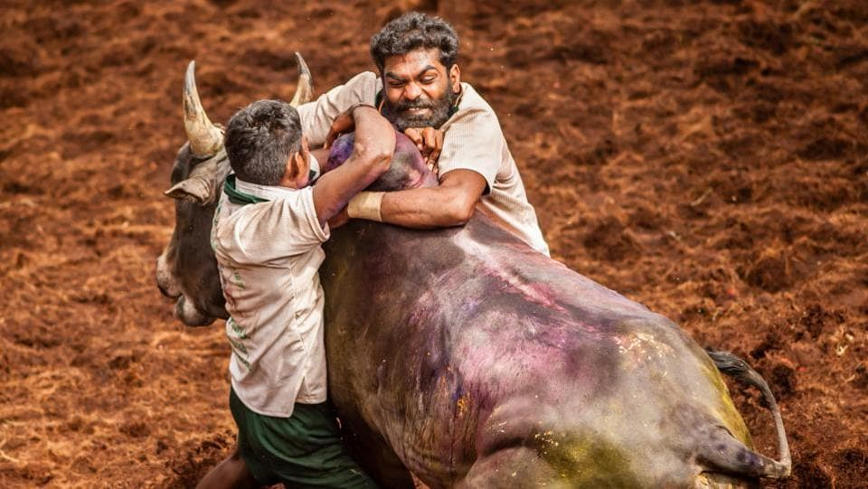 Jallikattu has been known to be practised during the Tamil classical period (400-100 BC). (Shutterstock)