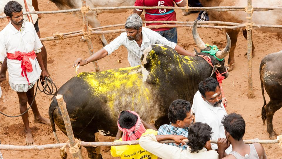 The apex court said while the draft of the judgment has been prepared, it is not possible to deliver a verdict before Saturday when Pongal is set to be celebrated in Tamil Nadu. (Shutterstock)