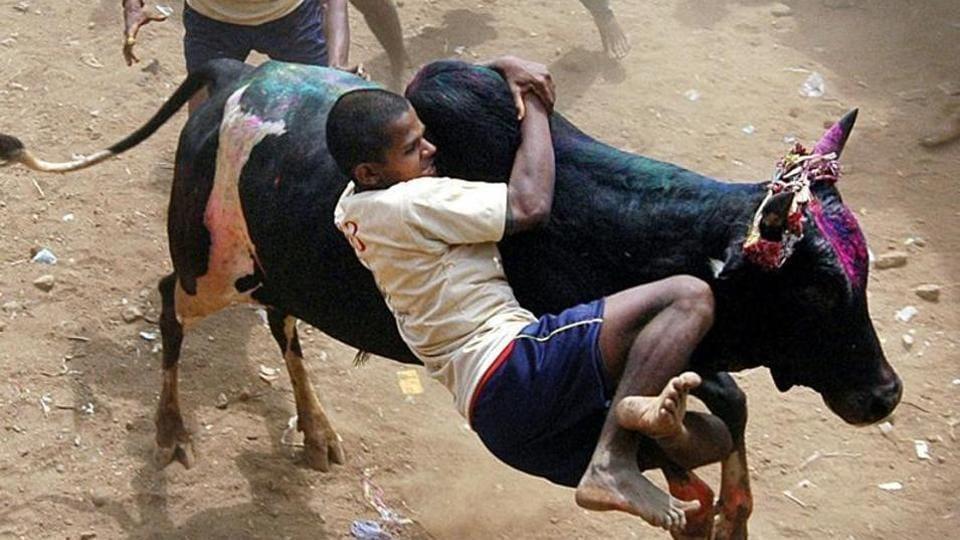 A participant tackles a bull during the annual Jallikattu festival in Palemedu, in Madurai.