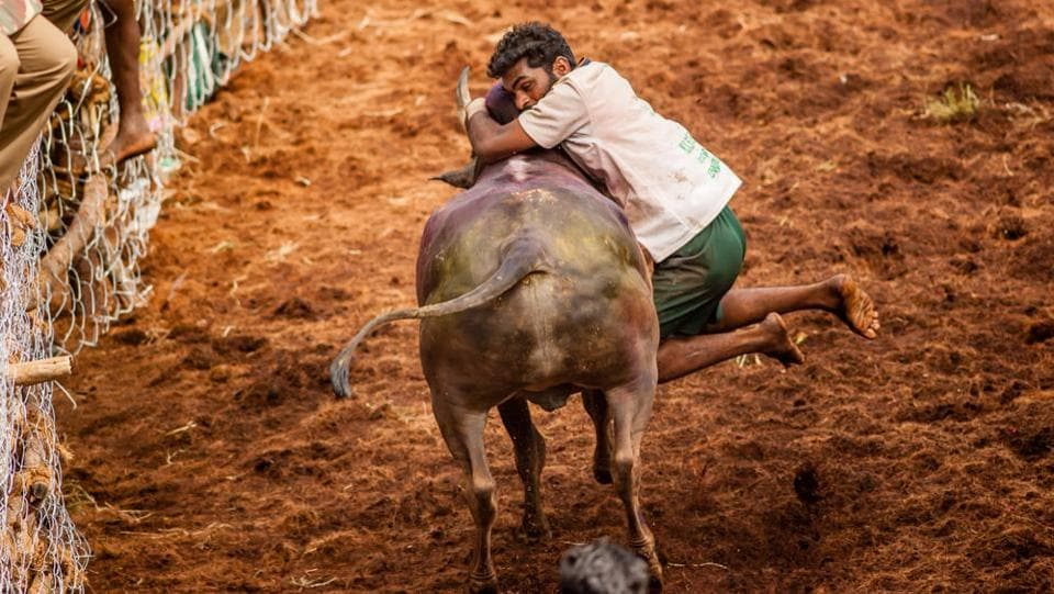 Jallikattu has been practised for thousands of years - unlike in Spain, the bull is not killed and the object is to pluck bundles of money or gold tied to the animal's sharpened horns. (ShutterStock)
