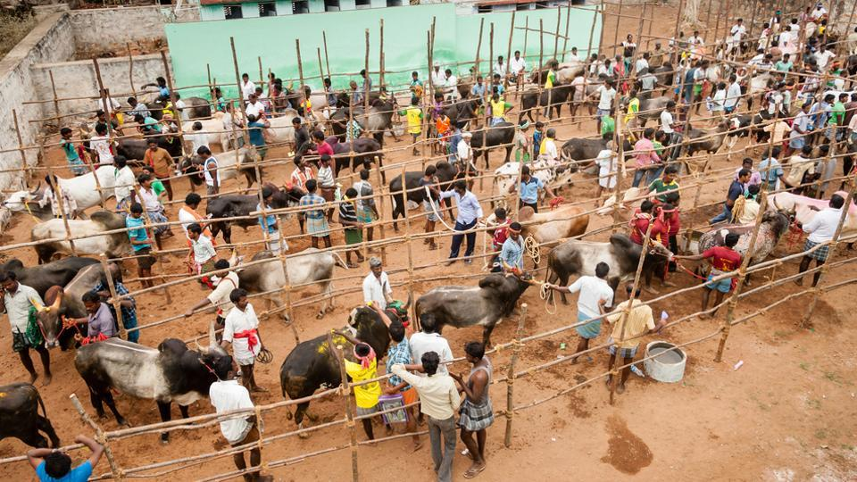 Jallikattu is  an event of hugging or embracing the bull and it is held in Indian state Tamil Nadu as a part of Pongal celebrations. (Shutterstock)