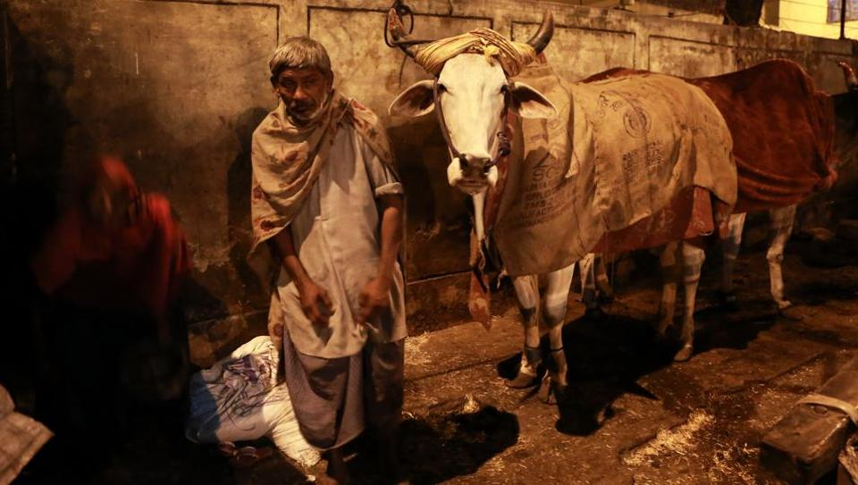 HOLY COW: A man who lives in a small hut on a footpath in Motia Khan. He covers his cows with gunny sacks to protect them from the cold. (AMAL KS/HT PHOTO)