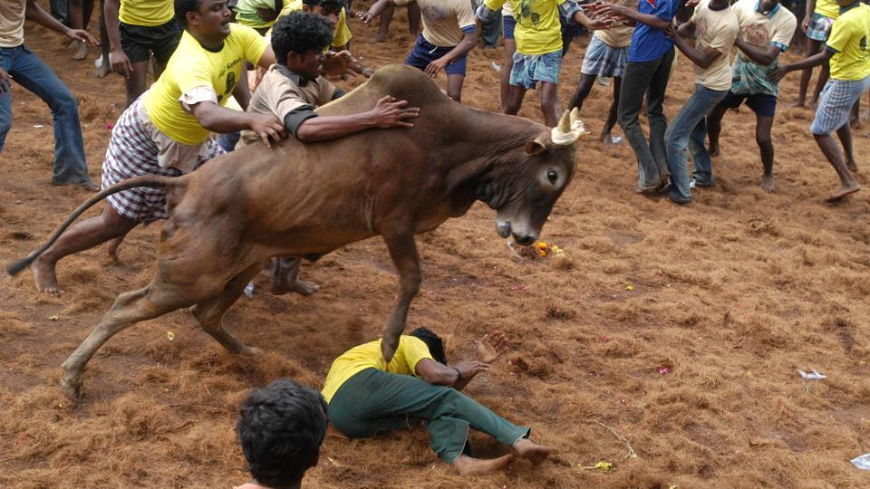 Tamers tackle a raging bull at a Jallikattu event in Alanganallur, about 575 kilometers (359 miles) south of Chennai.  The Supreme Court on Thursday decided against passing an order on permitting the bull-taming sport Jallikattu before January 14, when the four-day Tamil harvest festival of Pongal is slated to begin. (M. Lakshman  /  AP)
