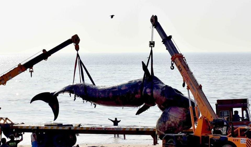 Workers lift a dead whale of around 40 feet at Juhu beach in Mumbai.