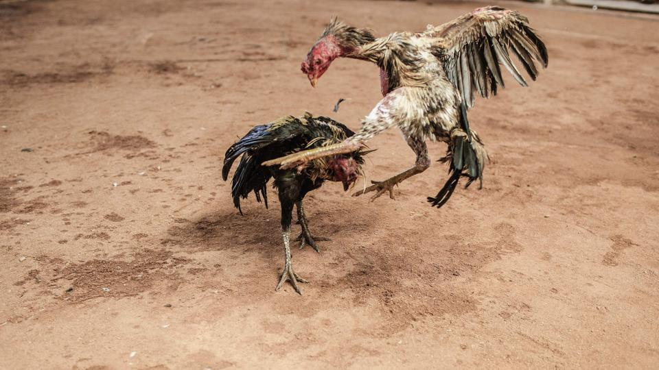 Cockfighting is a blood sport, during which razor-sharp blades are tied to the claws of two rosters.