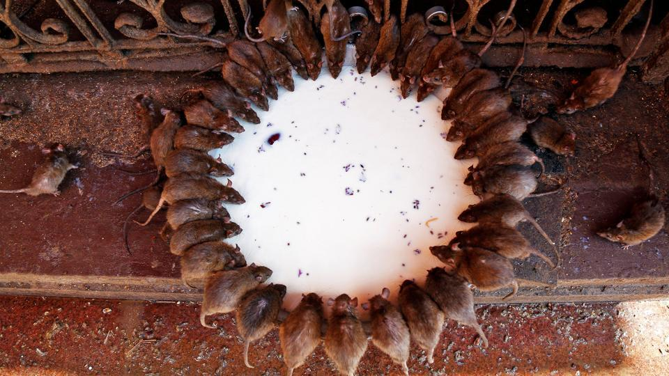 Rats drink milk donated by devotees inside the Karni Mata temple, where thousands of rats are fed, protected and worshipped throughout the year, in Deshnoke near Bikaner, in the desert Indian state of Rajasthan. (Himanshu Sharma / REUTERS)